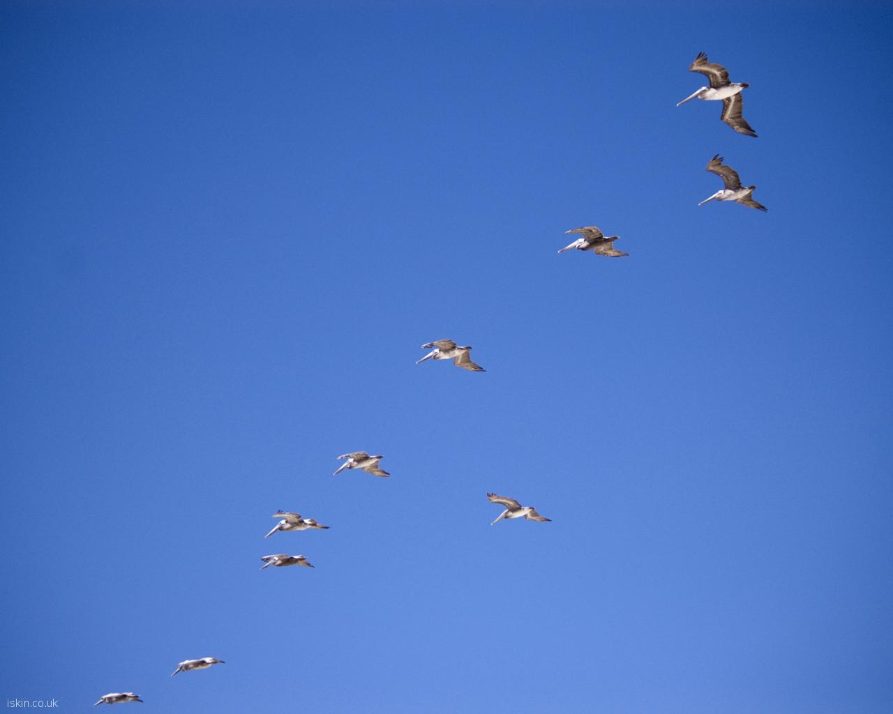 desktop image pelican formation flight