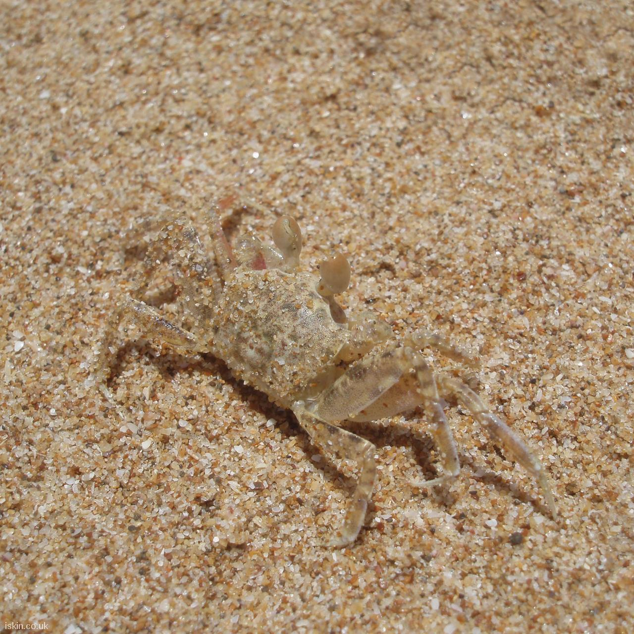 android table squareSand Crab