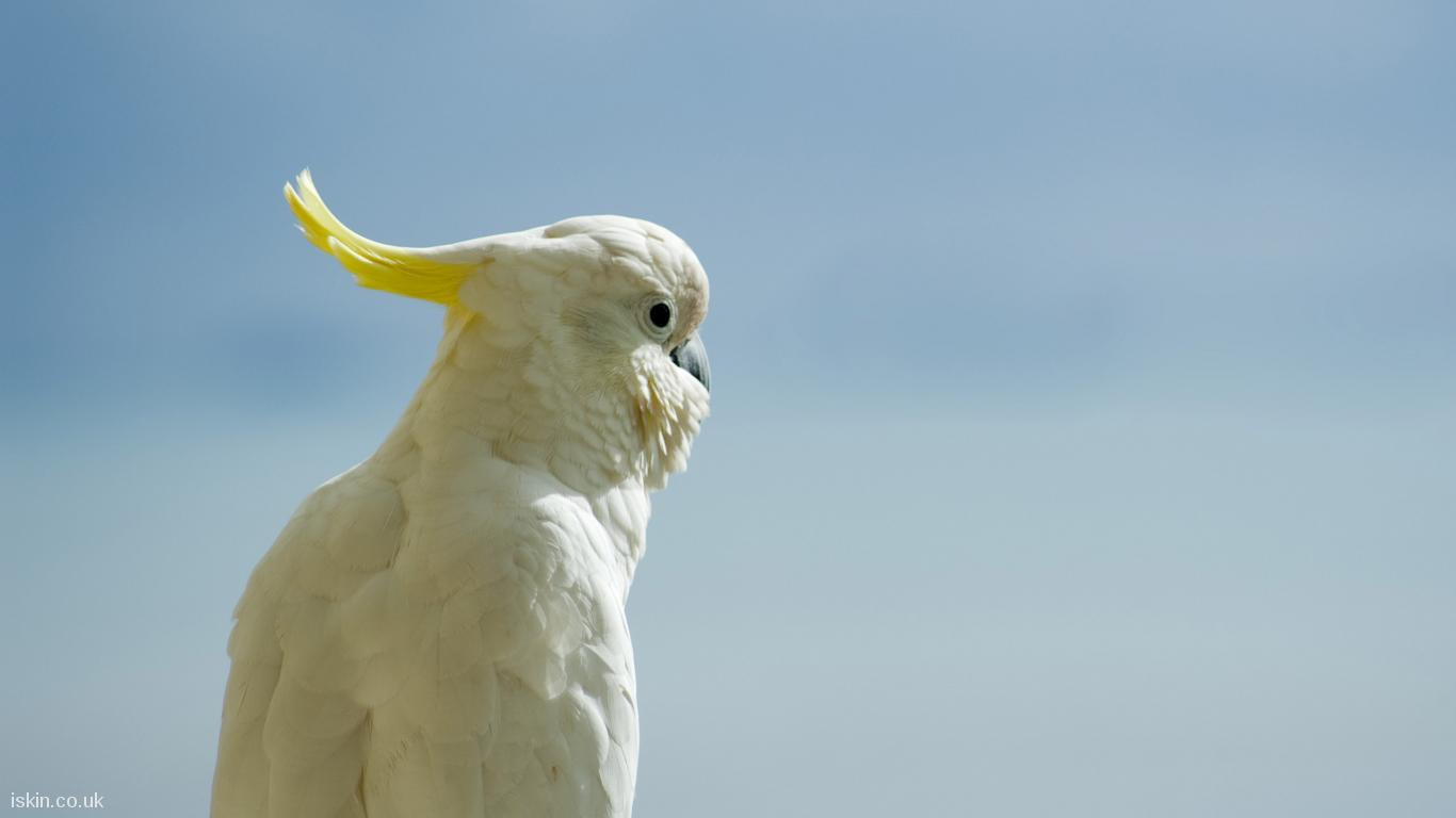 desktop image white cockatoo