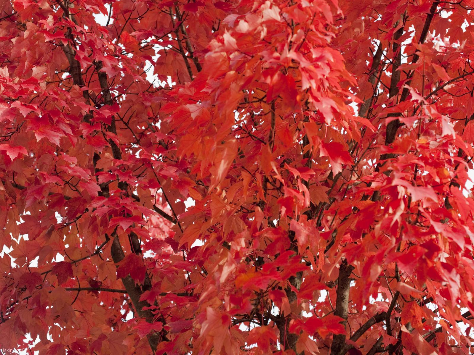 desktop image fiery red leaves