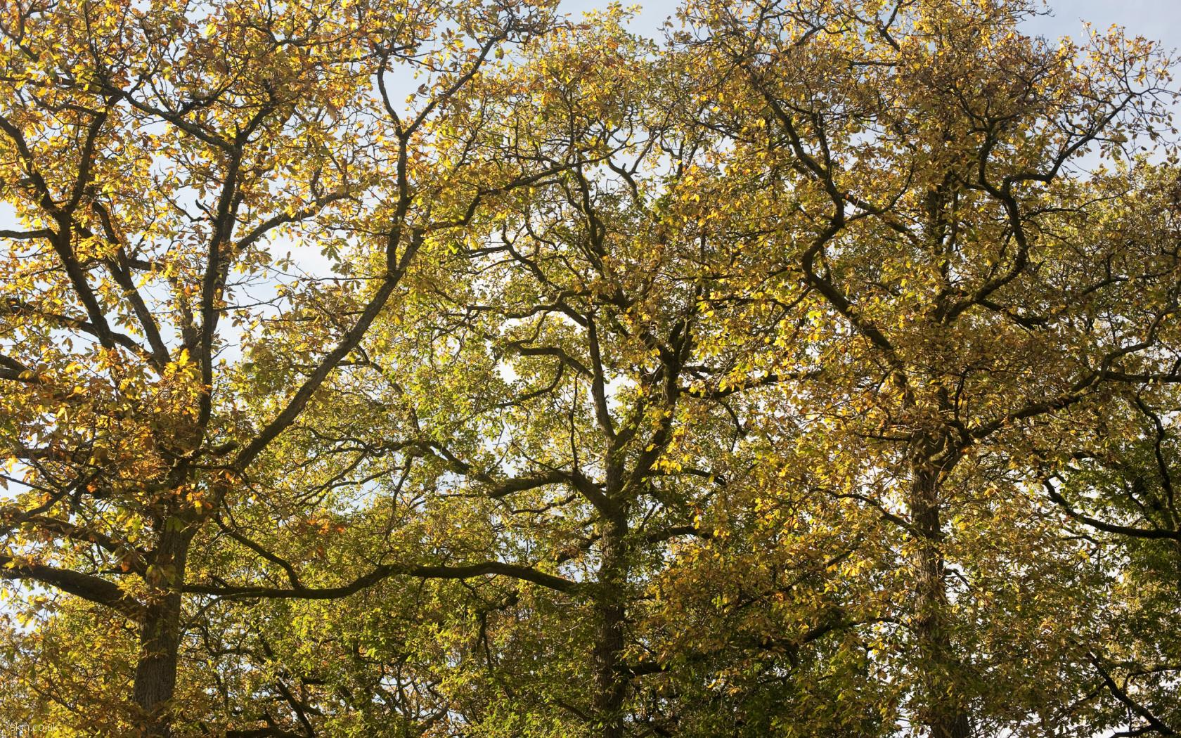 desktop image three autumn trees