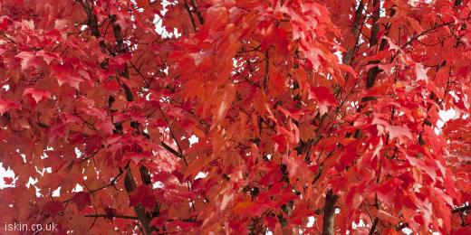 twitter header fiery red leaves