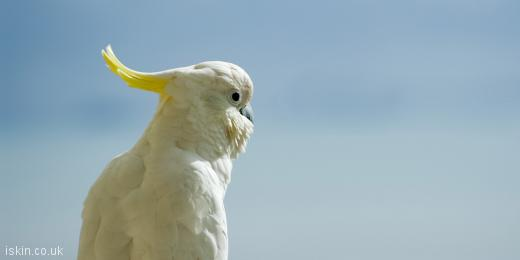 twitter header white cockatoo