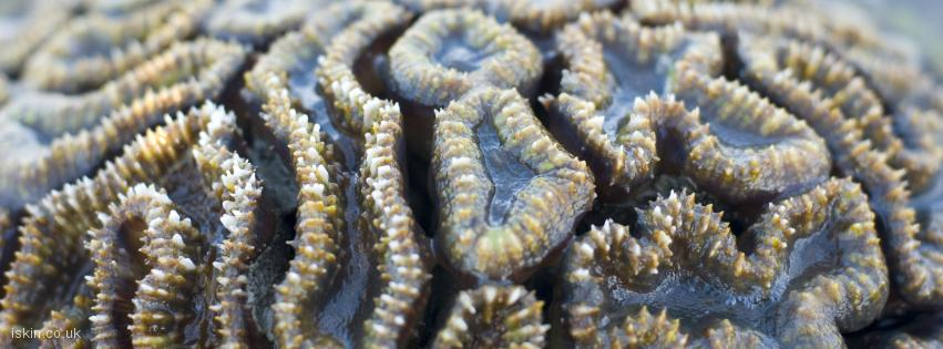 facebook header Brain Coral, Goniastrea
