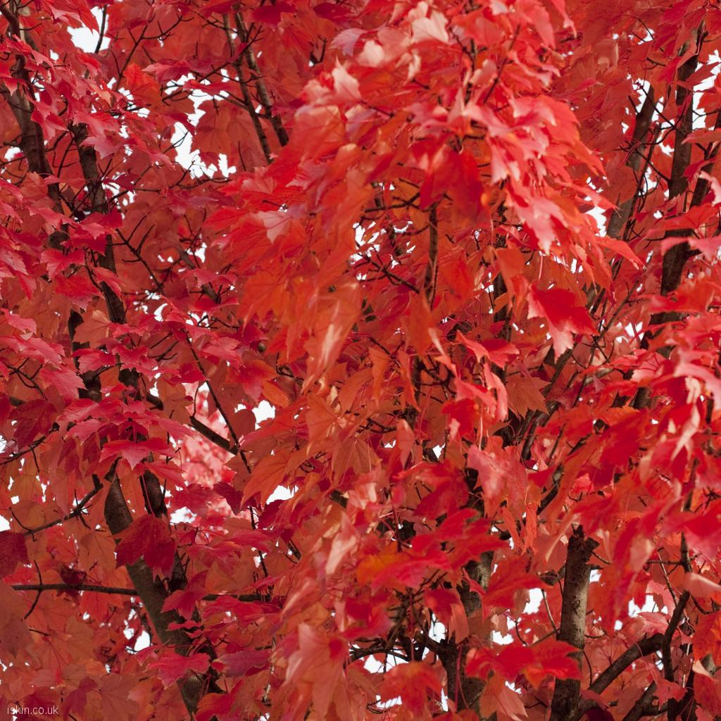 ipad wallpaper fiery red leaves