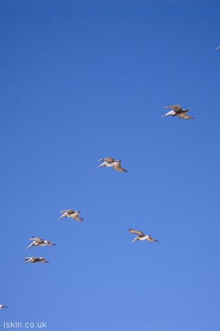 iphone portrait wallpaper pelican formation flight