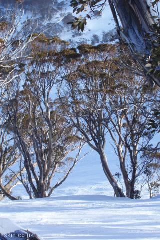 iphone portrait wallpaper Snow Gums