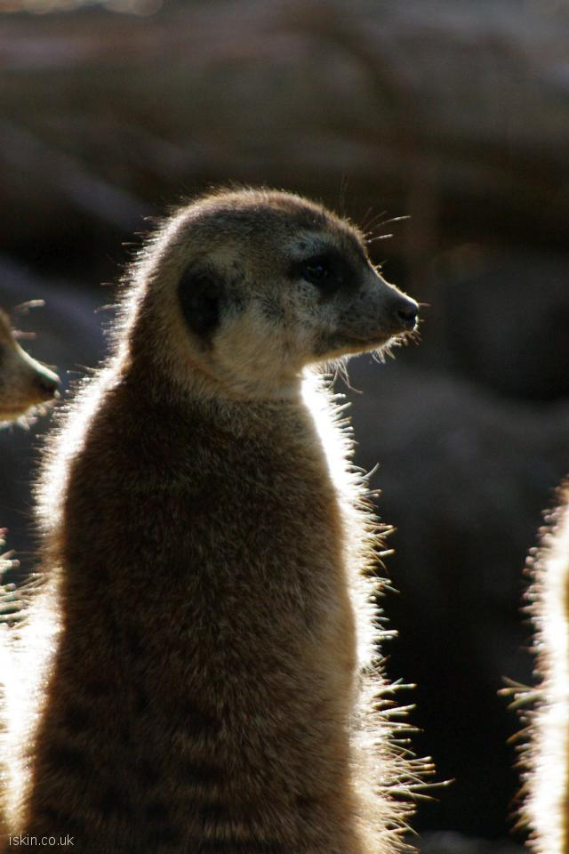 iphone 4 portrait wallpaper  meerkat trio