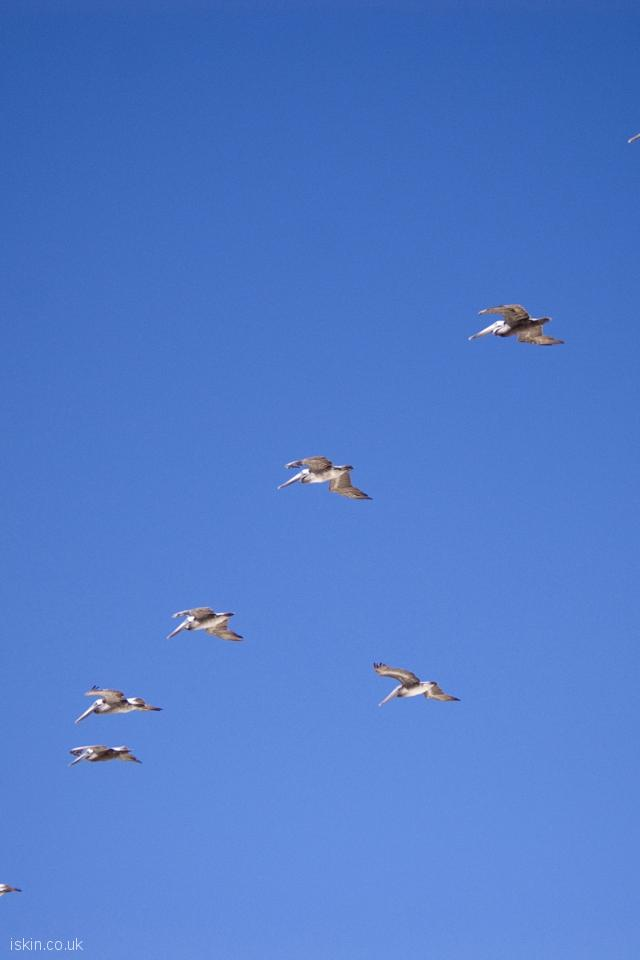 iphone 4 portrait wallpaper pelican formation flight