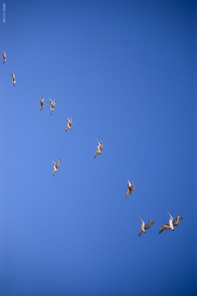iphone 4 landscape wallpaper pelican formation flight