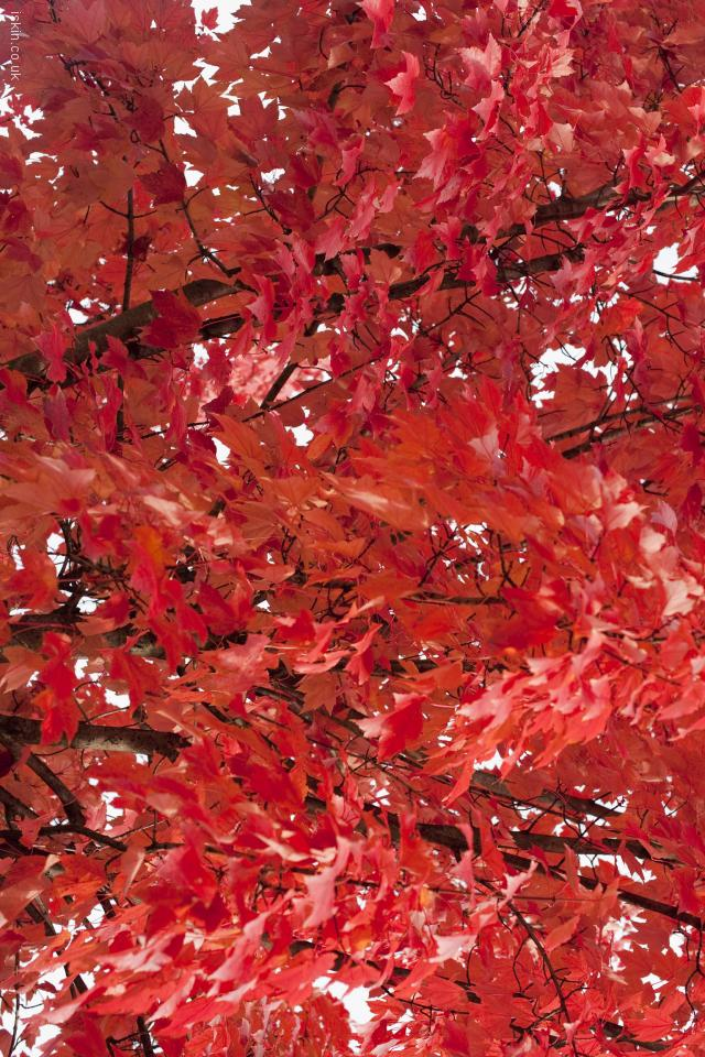 iphone 4 landscape wallpaper fiery red leaves