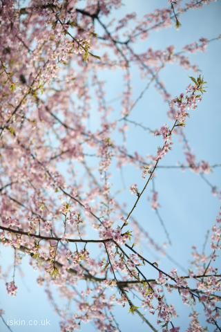 iphone landscape wallpaper cherry blossom