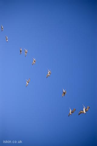 iphone landscape wallpaper pelican formation flight